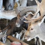 Muflony nadają się do wspólnego chowu z danielami. Zwierzęta znoszą się nawzajem bez problemów.