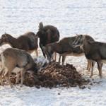Zimą, podczas mrozów, podajemy muflonom okopowe (buraki, marchew) jako źródło wody.