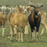 Muflony - tryk i owce