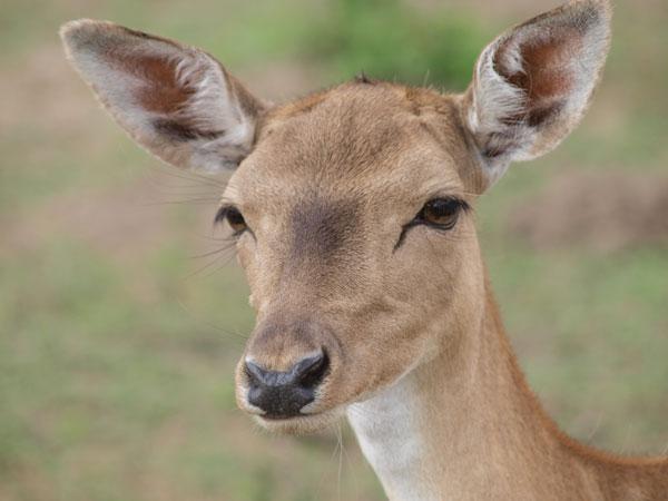 """Łacińska nazwa gatunku daniela to """"Dama-Dama"""". Czasem można odnieść wrażenie, że dostojeństwo i uroda tych zwierząt uzasadnia całkowicie to określenie także na płaszczyźnie języka polskiego ;)"""