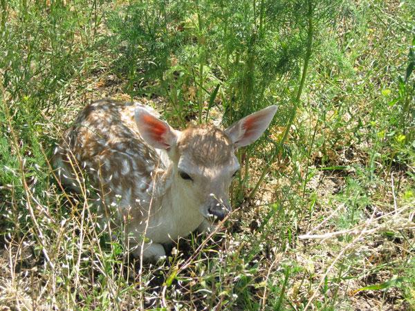 Młode daniele rodzą się późną wiosną, w okresie maja i czerwca. Tuż po narodzinach maskują się w wysokiej trawie, dlatego niezbędne jest, aby na czas wykotów zapewnić danielom możliwość przebywania na obszarze porośniętym zróżnicowaną, niezbyt niską roślinnością.