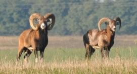 Muflony - stary i młody tryk