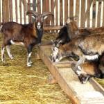 Oprócz dostępu do pasz objętościowych (zielonki, siano), szczególnie zimą wskazane jest dokarmianie muflonów niewielką ilością paszy treściwej (np. owies, jęczmień).