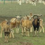 Stadko muflonów (kierdel)
