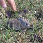 Dziki królik - w wieku około 3 tygodni.