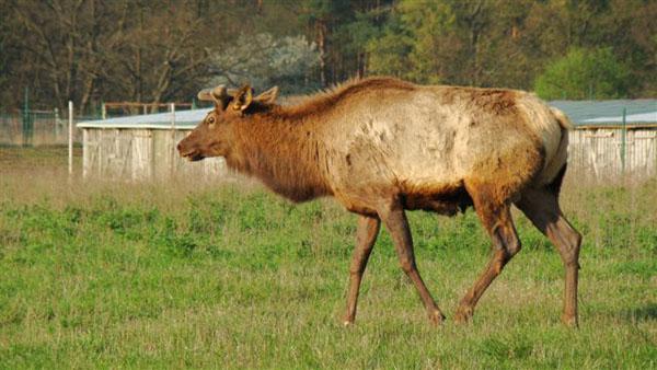 Byk Wapiti tuż po przyjeździe w kwietniu, jeszcze w zimowej sukni. To, co zaczęło mu wyrastać na głowie, nie robiło jeszcze szczególnego wrażenia...