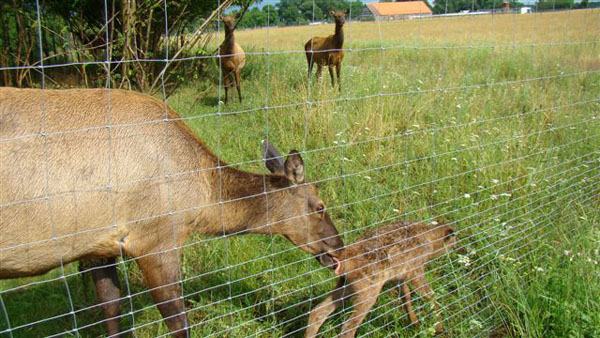 W lipcu także doczekaliśmy się przychówku. Oto chwila tuz po narodzinach małego Wapiti. Od razu po urodzeniu, jeszcze mokry, a już stoi na własnych nogach.