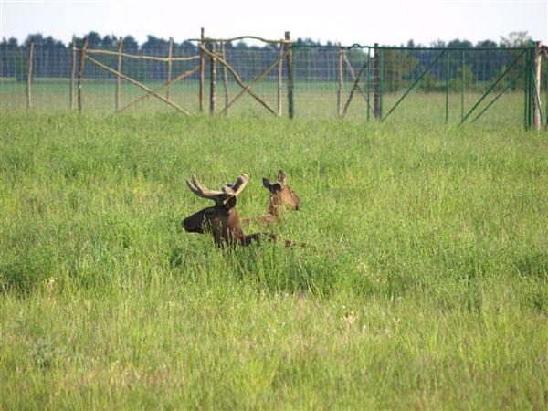 Wapiti zwykle zaszywają się w wysokiej trawie, gdzie spędzają znaczną część dnia.