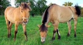 Konie fiordzkie