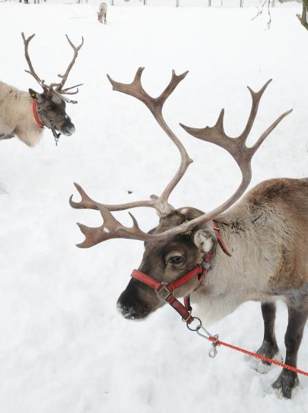 Rudolf i koledzy już wiedzą, że śnieg to nie tylko wiele radości, ale też trochę pracy w zaprzęgu. Dla reniferów zaprzęg jest naturalnym sposobem ich użytkowania, rozpowszechnionym na terenach Północy.
