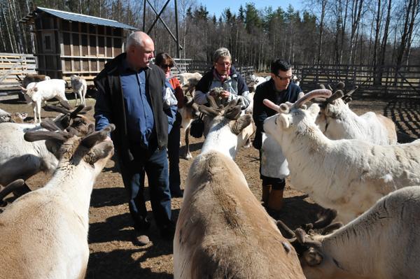 Na jednej z ferm reniferowych w Finlandii. Zaskoczyła nas wielkość niektórych byków. Okazuje się, że renifery rosną i nabierają masy praktycznie nawet do 10 roku życia. To znaczy, że nasze - choć już są całkiem dorosłe - jeszcze podrosną :)