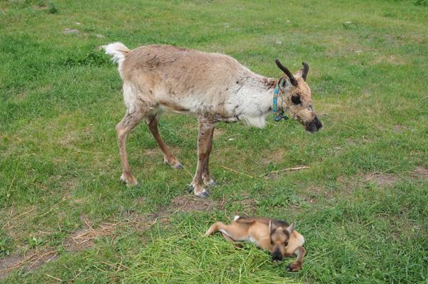 Mokk ze swoją mamą. Ta krówka jest znacznie bardziej oswojona niż mama Jokka. Dlatego w sposób nienaturalny dla swojego gatunku (co się zdarza w hodowlach, jak potwierdzili nam hodowcy z Laponii) zgubiła swoje poroże na dobry miesiąc przed porodem, nie czując żadnego zagrożenia. W momencie wycielenia miała już nałożoną sporą część przyszłego, nowego poroża.