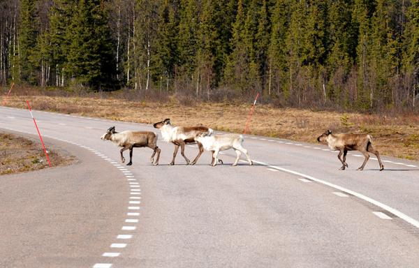 Renifery - nierzadko również na drodze. Poruszając się samochodem po tej krainie trzeba znacznie wzmóc czujność.