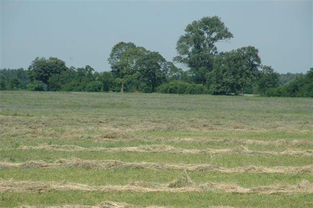 Lato to również czas sianokosów. Zapewnienie sobie dobrej jakości siana (lub sianokiszonki) jest niezbędne na czas pozostałej części roku, kiedy pastwisko nie jest dostępne.