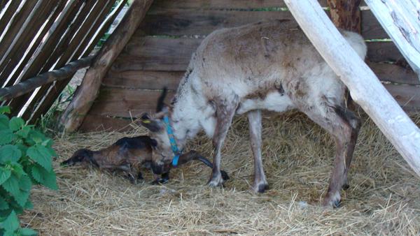 A to już narodziny Mokka. Mały, świeżo urodzony reniferek, choć jeszcze bardzo nieporadny, to jednak błyskawicznie próbuje wstać na własne nogi, co zresztą bardzo szybko mu się udaje.